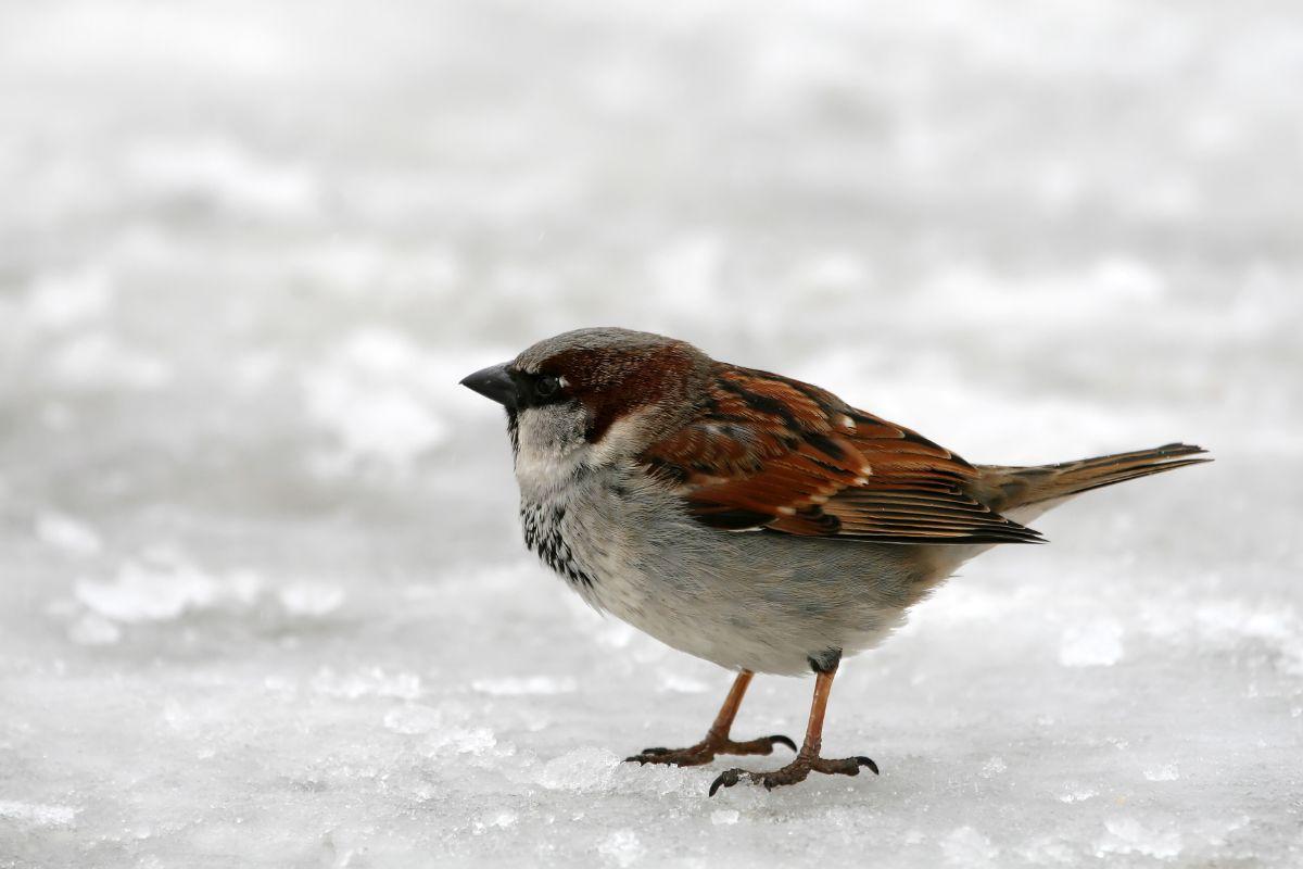 Frozen Sparrow