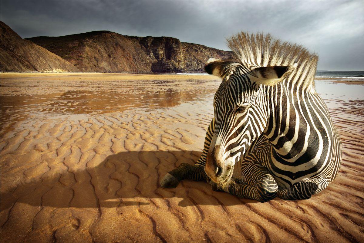 Zebra on Beach