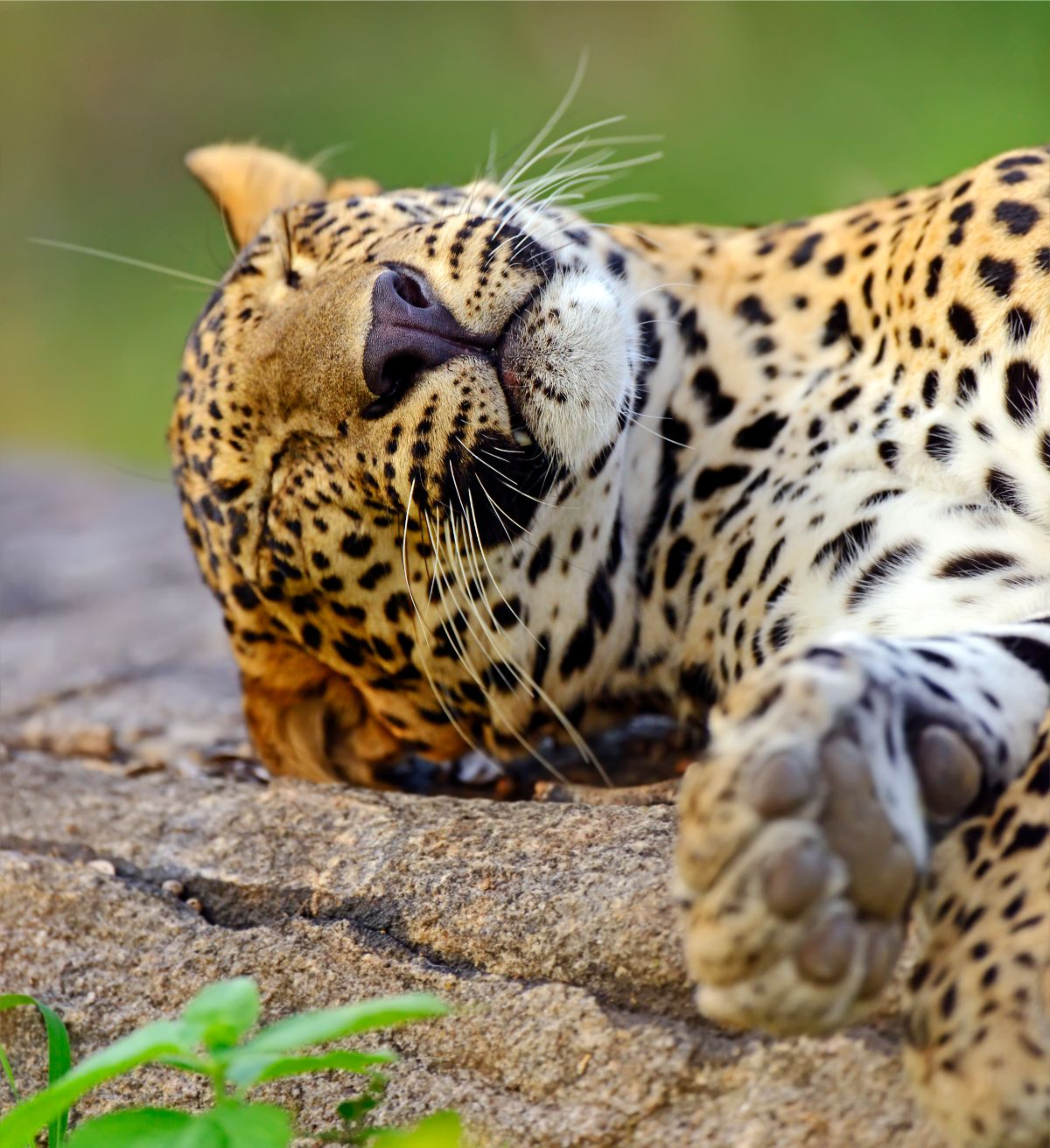 Leopard on Ground
