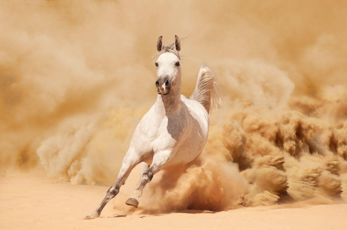 White Arabian Running in Desert