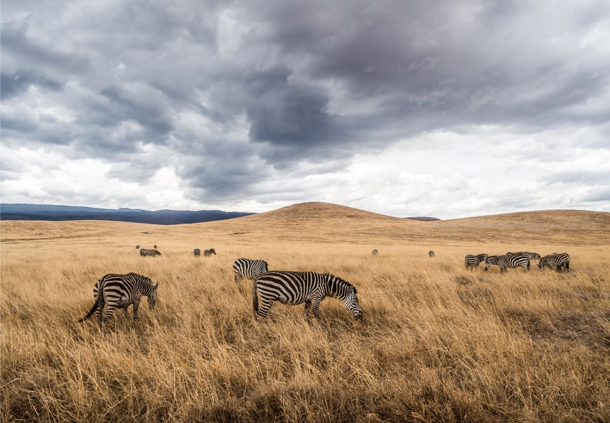 Zebras in Bush