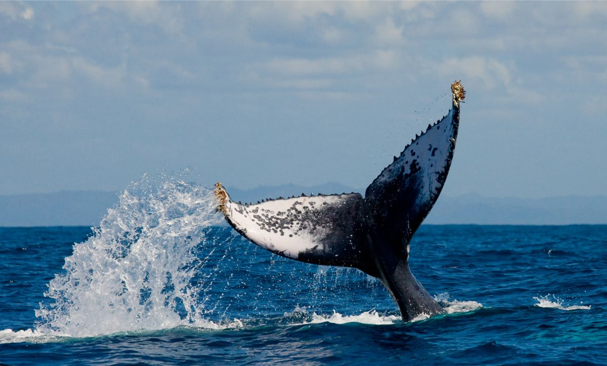 Hump Back Whale Waving