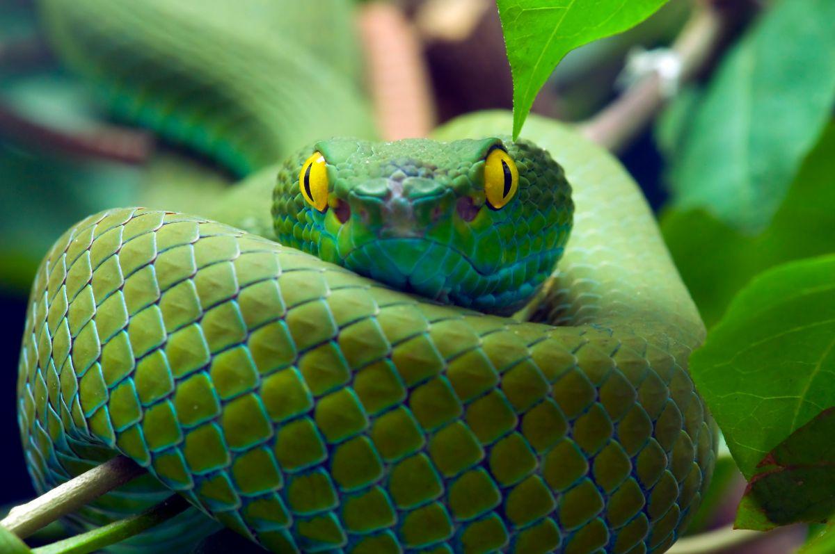 Yellow Eyed Green Snake