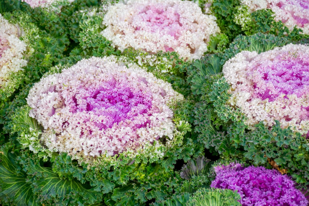 Pink Cabbages
