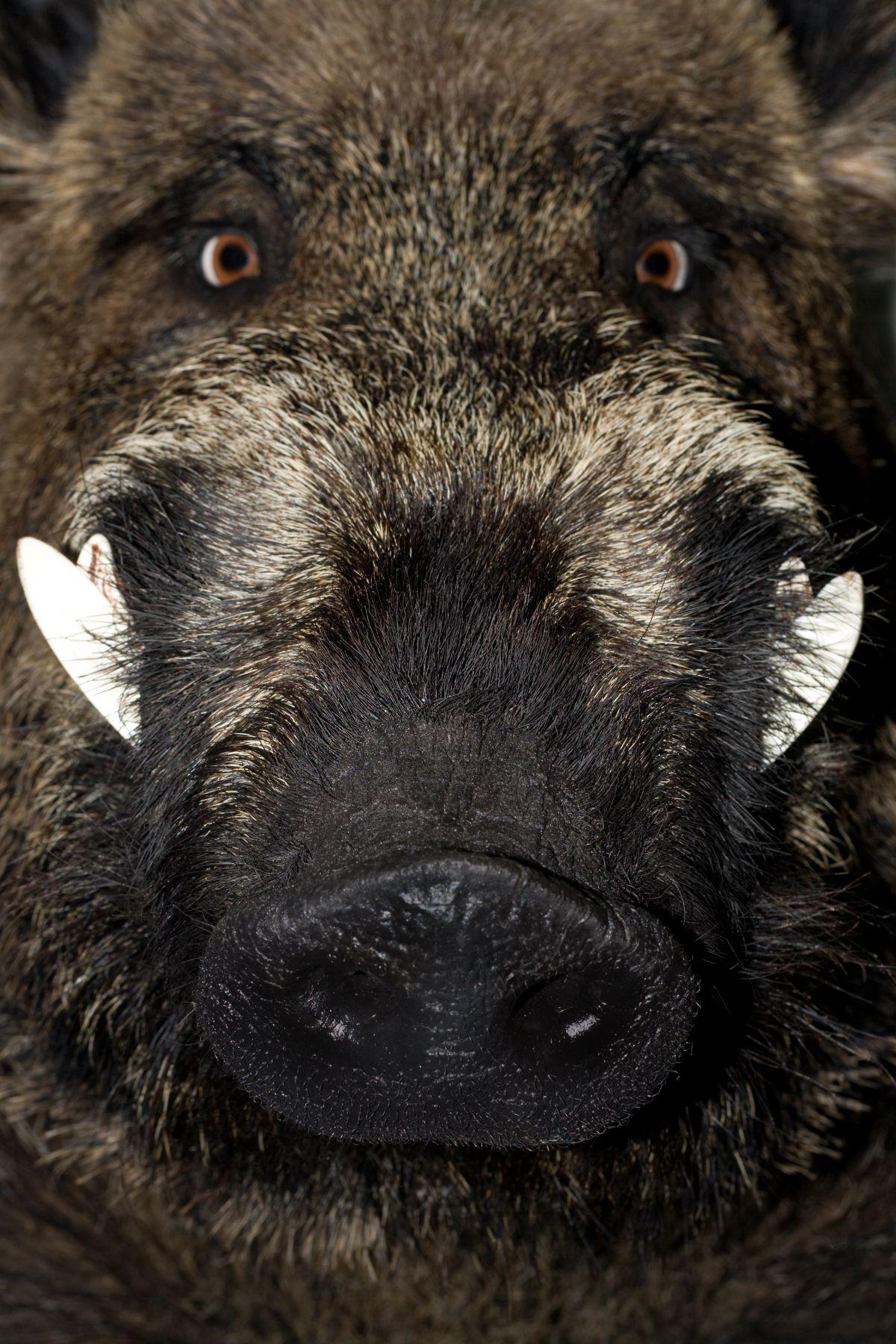 Boar Face