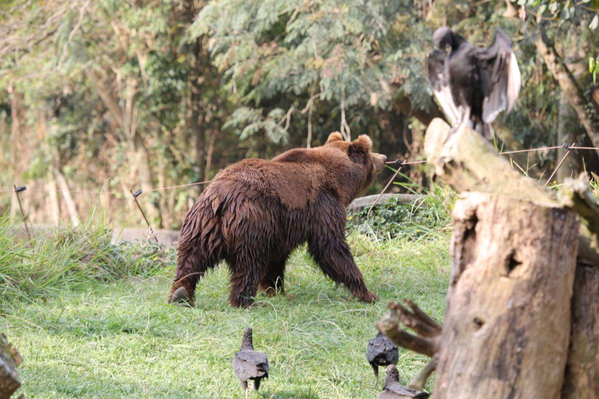 Grizzly Yawn