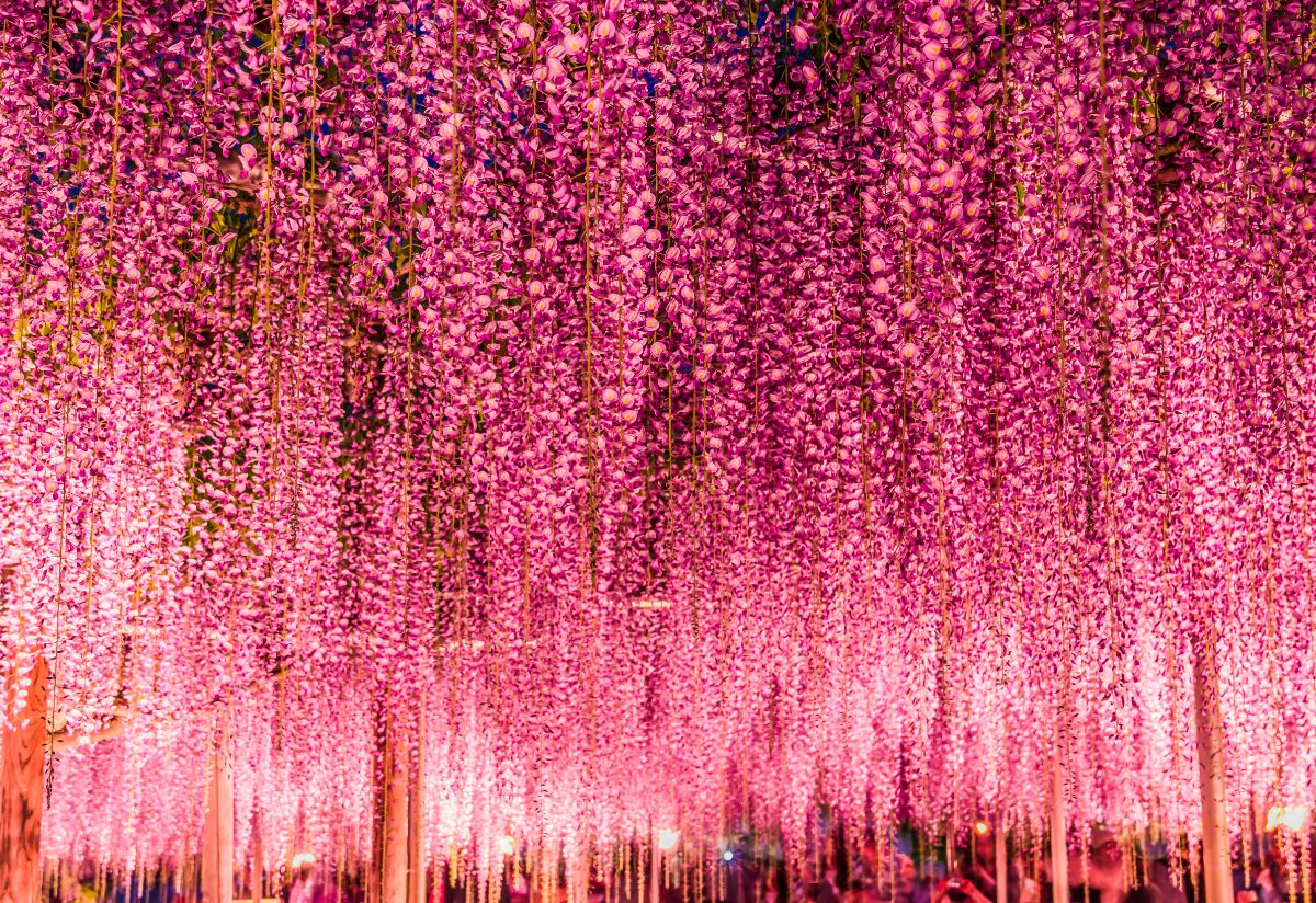 Great Pink Wisteria