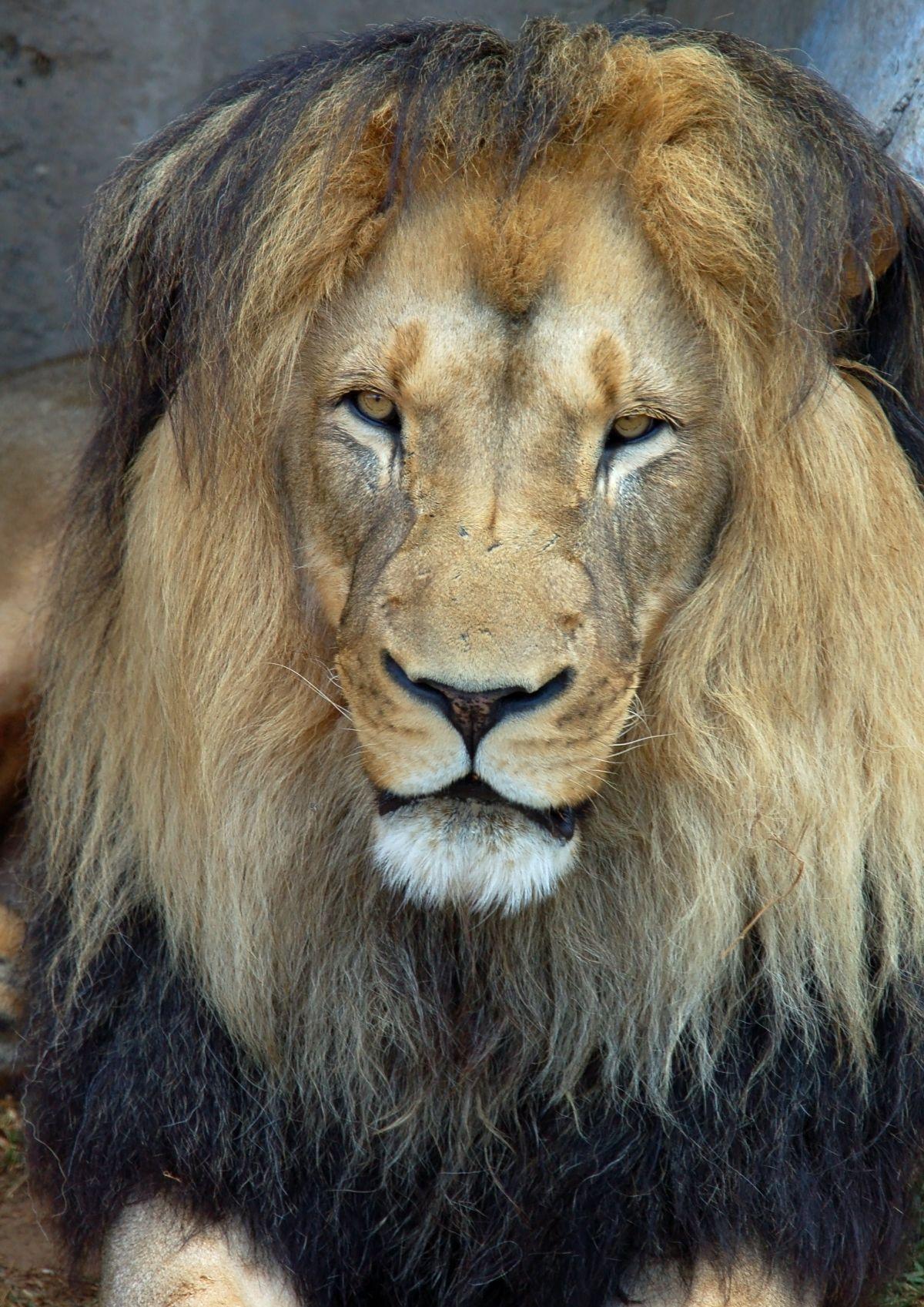 Barbary Lion