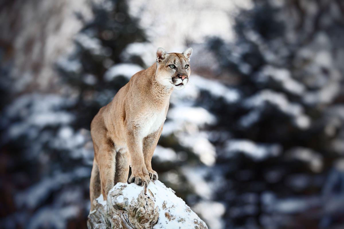 Puma On Ledge
