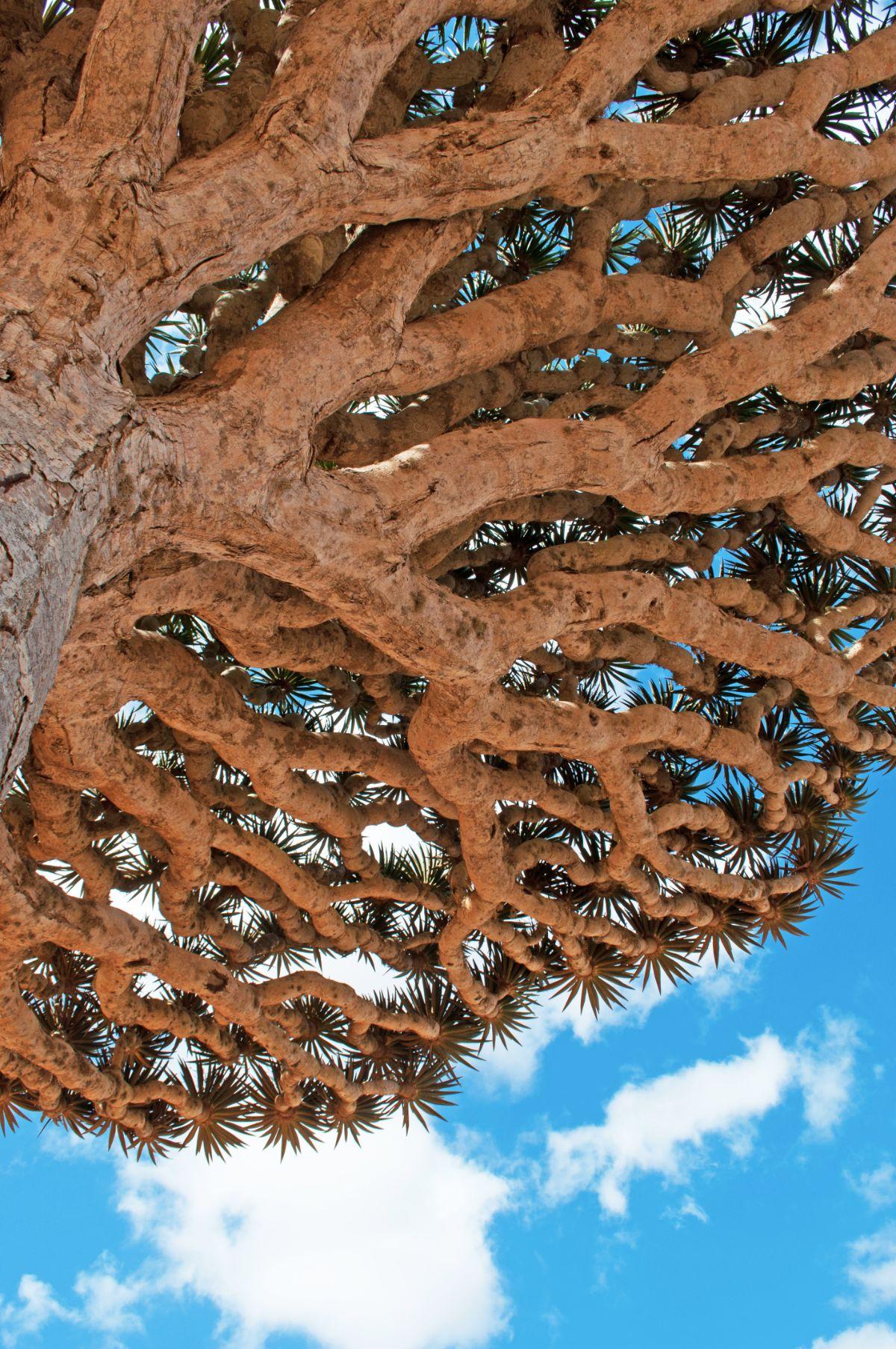 Dragon Tree Branches