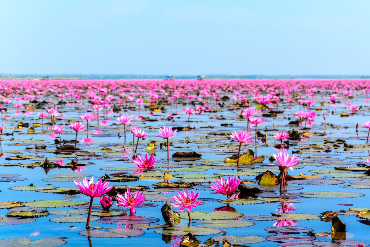 Sea of Red Lotus